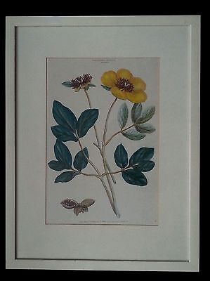 "Antique botanical lithograph by J. Miller ""Polyandra Digynia Paeonia "" 2"