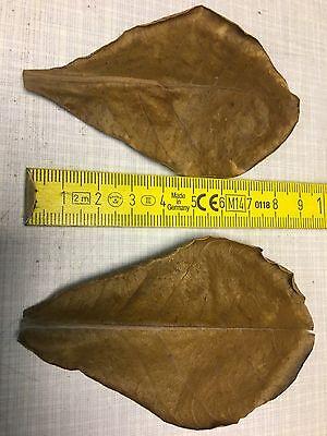 10 Nano extra kleine Seemandelbaumblätter ca. 7-9cm (+5 Blätter Gratisaktion) 3 • EUR 1,95