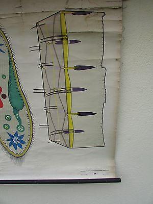 alte Rollkarte Schulwandkarte Wandkarte Urtiere Tiere (26)