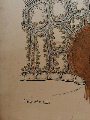 Alte Schulwandtafel Botanik C.I. L. Kny farbige Lithografie auf Karton 5