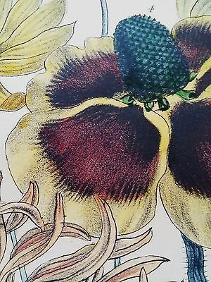 Antique botanical lithograph by Day & Haghe London, Chrysostemma 1840's