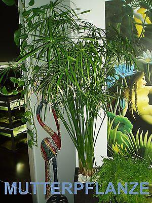 *1x Haspan + 1x Alternifolius* Wasserpalme Cyperus Aquarienpflanze Wasserpflanze 3