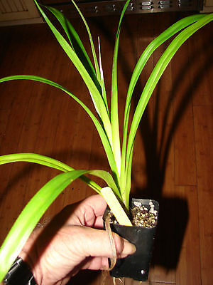 2-4\u201d tall LIVE plants Stilt Screw Pine Pandanus tectorius Seedling 3 ~ Hawaiian HALA tree saplings