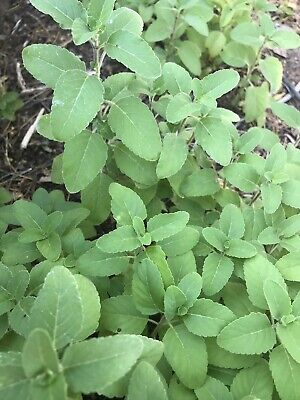 FRESH GREEN TULSI LEAVES 31 Qty Holy Basil used for Indian Puja, Tea, Herbal 2