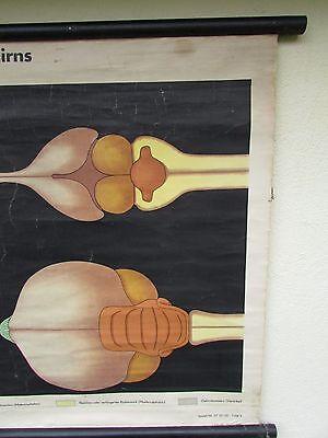 alte Rollkarte Schulwandkarte Wandkarte Gehirn Taube Haustaube Ringelnatter (29) 4