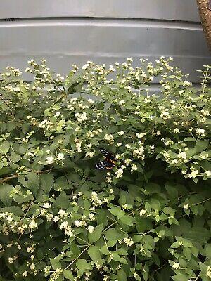 "Mexican Dream Herb  (Calea Zacatechichi) 10 Grams ""Organic"" 3"