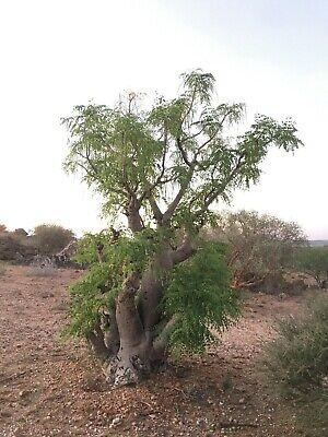 Mehlsackbaum drouhardii Madagaskar-Flaschenbaum 100 Samen Moringa droughardii