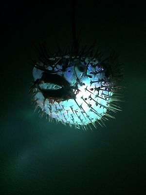 "NEW 8""-9"" Puffer Fish Lamp w/color changing LED Light Tiki bar Smokin Tikis fx 6"