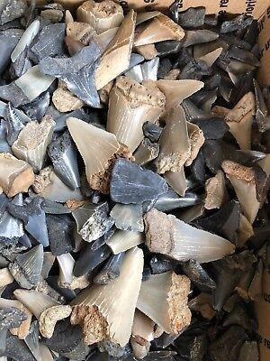 $10 Shark Teeth Lot (20 TEETH) Megalodon Angustidens Mako Great White Hemi