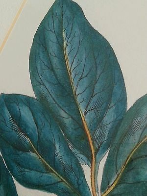"Antique botanical lithograph by J. Miller ""Polyandra Digynia Paeonia "" 11"