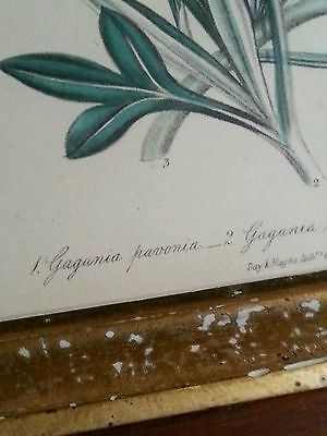 Antique botanical lithograph by Day & Haghe London, 1840's Gazania pavonia