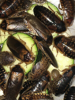 Dubia Roaches 100 Medium Sizes 1/2 to 3/4 inch Free & Fast Shipping 3