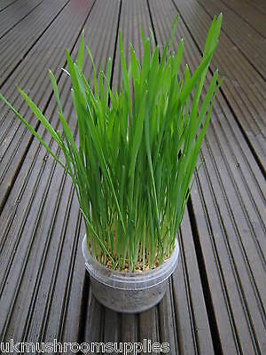 Complete cat grass grow kit - edible grass seed mix (oat, wheat, barley & rye) 4