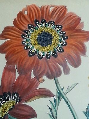 Antique botanical lithograph by Day & Haghe London, 1840's Gazania pavonia 7