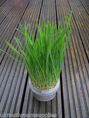 Complete cat grass grow kit - edible grass seed mix (oat, wheat, barley & rye) 6