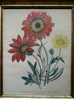 Antique botanical lithograph by Day & Haghe London, 1840's Gazania pavonia 3