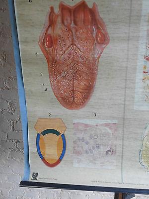 1 x Sinnesorgane /alte Lehrtafel (1582), gebr.Logo Original Deut. Hyg. Mus.usw.