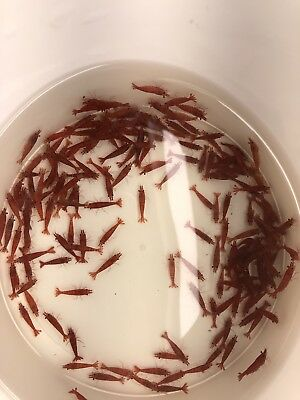 5 Red Cherry Shrimp (Painted Fire Red) Neocaridina 8