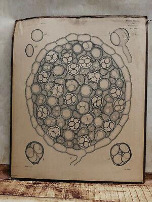 Alte Schulwandtafel Botanik C.I. L. Kny Lithografie auf Karton 4