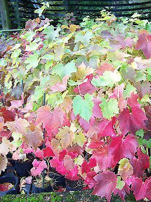 Black Grape Fruit Vine In 2 Lt Pot Climbing Plant Vitis Brant Hardy Outdoor Vine 3