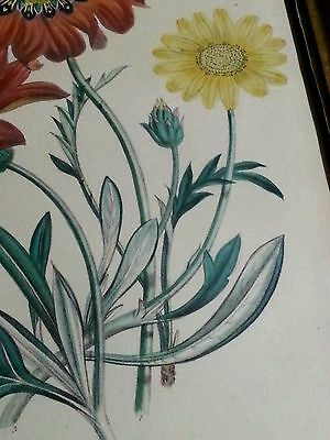 Antique botanical lithograph by Day & Haghe London, 1840's Gazania pavonia 9