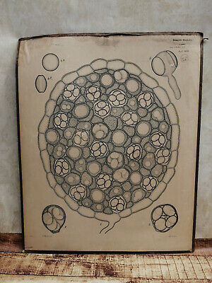 Alte Schulwandtafel Botanik C.I. L. Kny Lithografie auf Karton 2