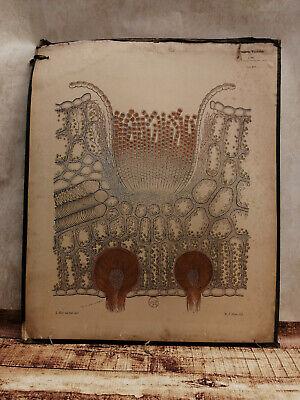 Alte Schulwandtafel Botanik C.I. L. Kny farbige Lithografie auf Karton 2