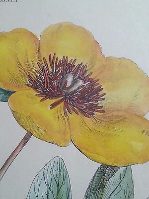 "Antique botanical lithograph by J. Miller ""Polyandra Digynia Paeonia "" 4"