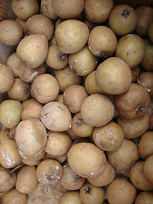 11 of 12 sapodilla manilkara zapota cv alano chico sapote zapote nispero live seedling