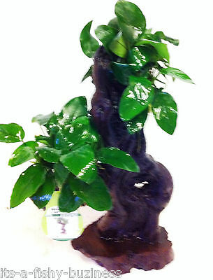 Jungle Tree Anubias Nana Mbuna Med Tropical Live Aquarium Plant  *STUNNING *java 2