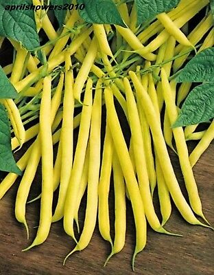 Bean Bush Golden Wax Organic Heirloom Stringless Extra Fine Early COMB/SHIP SEED