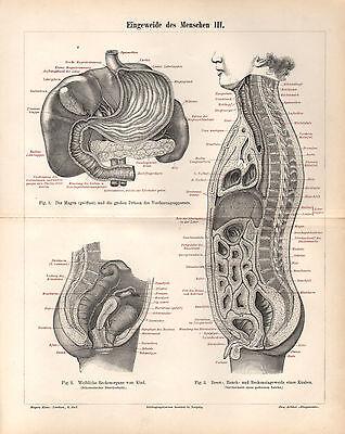 Eingeweide des Menschen Stich 1896 Tafeln I - V Anatomie Lunge Herz Niere Darm 3