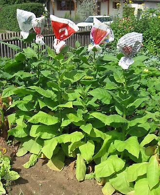 1000 graines de tabac Virginie