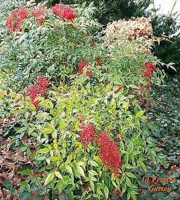 Winterhart Exot Samen Schnellwuchsig Garten Zierpflanze Raritat