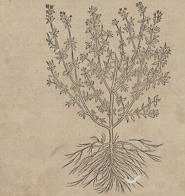 Apothekerkräuter QUENDEL Thymian Orig. Holzstich auf Textblatt 1590 Heilkräuter 5