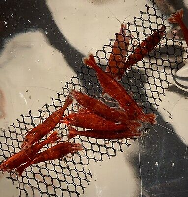 5 Fire Red + 5 Dream Blue Shrimp (+1 DOA For Each Color) Imported From Thailand 6