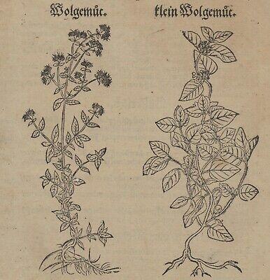 OREGANO Dost WOLGEMUT Apothekerkräuter Original Textblatt um 1590 Küchenkräuter 4