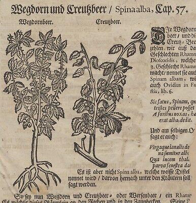 Faulbaum Kreuzdorn WEGEDORN Original Textblatt Fragment um 1590 Apotheker Arznei 4