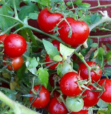 Gloire de Malines Roem van Mechelen Tomate Saatgut Tomato 5+ Samen Seeds