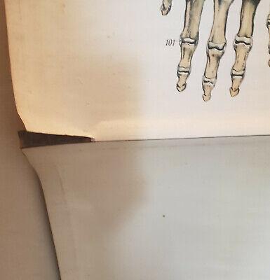 Frohse anatomische Wandtafel SKELETT Rollkarte Schulwandkarte Lehrkarte 20er 2