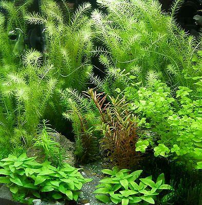 120 Wasserpflanzen + 2 Tigerlotus + 10 Schwimmpflanzen + Wasserpflanzendünger 3