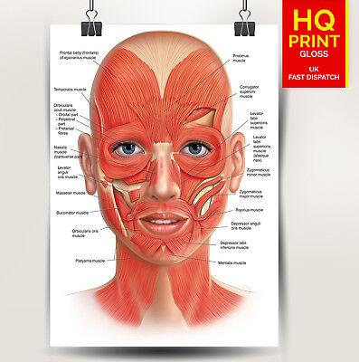FACE ANATOMY BONES /VEINS detailed poster print   A4 A3 A2 A1   2