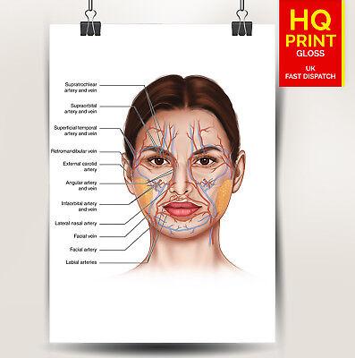 FACE ANATOMY BONES /VEINS detailed poster print   A4 A3 A2 A1   4
