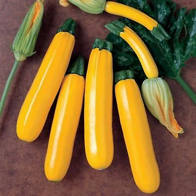 Squash Golden Zucchini 15+ Seeds Tender Delicious Prolific * COMBINED SHIPPING * 2