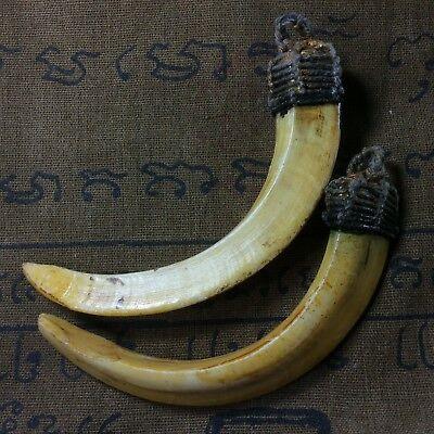 Takrut Real 2 Wild Boar Pig Hog Teeth Solid Thai Amulet Powerful Pendant Animal