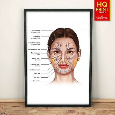 FACE ANATOMY BONES /VEINS detailed poster print   A4 A3 A2 A1   5