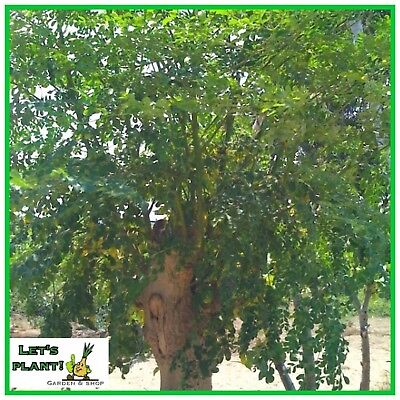 MORINGA OLEIFERA ORGANIC 5 FRESH SEEDS Miracle Tree High Germination Rate