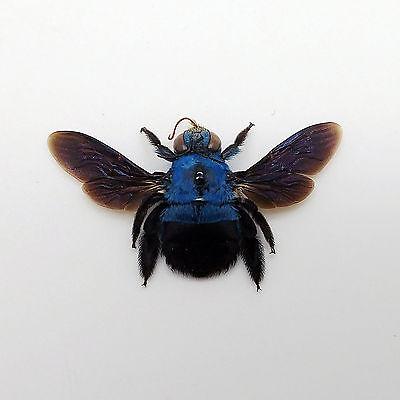 The Blue Carpenter Bee Xylocopa caerulea Insect Specimen Indonesia (F) 2