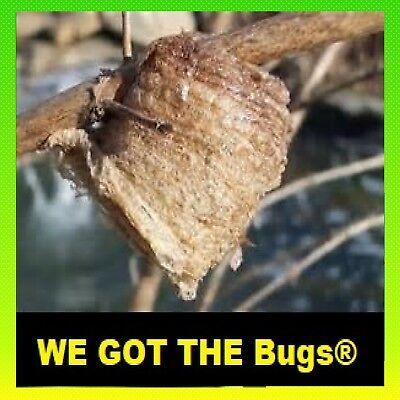 ⭐️ ⭐️ 1 LARGE Fresh Chinese Praying Mantis Egg ➕ Get A Free Hatching Habitat BAG 8