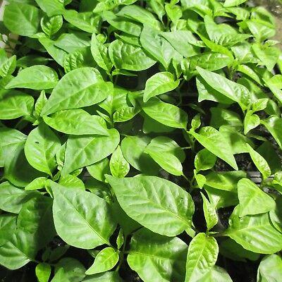 Lot of 3 (90+ DAYS OLD) CAROLINA REAPER Worlds Hottest Pepper LIVE PLANT 5